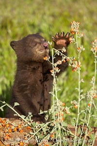 American black bear, male cub., Ursus americanus, natural history stock photograph, photo id 12241