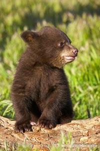 American black bear, male cub., Ursus americanus, natural history stock photograph, photo id 12256