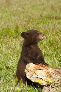 American black bear, male cub., Ursus americanus, natural history stock photograph, photo id 12257