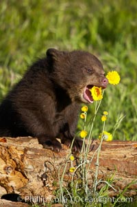 American black bear, male cub., Ursus americanus, natural history stock photograph, photo id 12258