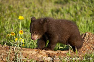 American black bear, male cub., Ursus americanus, natural history stock photograph, photo id 12259
