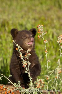 American black bear, male cub., Ursus americanus, natural history stock photograph, photo id 12265