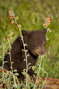 American black bear, male cub., Ursus americanus, natural history stock photograph, photo id 12266