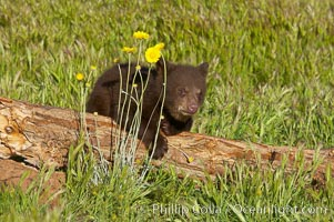 American black bear, male cub., Ursus americanus, natural history stock photograph, photo id 12272