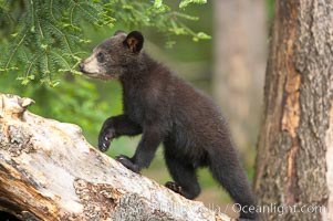Black bear cub.  Black bear cubs are typically born in January or February, weighing less than one pound at birth.  Cubs are weaned between July and September and remain with their mother until the next winter. Orr, Minnesota, USA, Ursus americanus, natural history stock photograph, photo id 18752