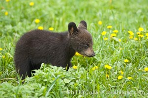 Black bear cub.  Black bear cubs are typically born in January or February, weighing less than one pound at birth.  Cubs are weaned between July and September and remain with their mother until the next winter, Ursus americanus, Orr, Minnesota