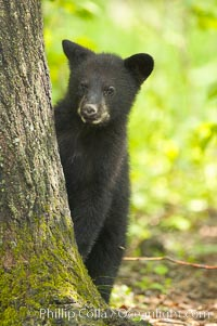 Black bear cub.  Black bear cubs are typically born in January or February, weighing less than one pound at birth.  Cubs are weaned between July and September and remain with their mother until the next winter. Orr, Minnesota, USA, Ursus americanus, natural history stock photograph, photo id 18834