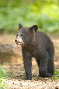 Black bear cub.  Black bear cubs are typically born in January or February, weighing less than one pound at birth.  Cubs are weaned between July and September and remain with their mother until the next winter. Orr, Minnesota, USA, Ursus americanus, natural history stock photograph, photo id 18835