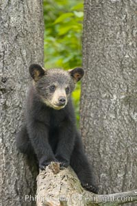 Black bear cub.  Black bear cubs are typically born in January or February, weighing less than one pound at birth.  Cubs are weaned between July and September and remain with their mother until the next winter. Orr, Minnesota, USA, Ursus americanus, natural history stock photograph, photo id 18852