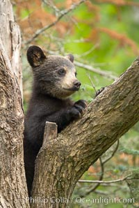 Black bear cub in a tree.  Mother bears will often send their cubs up into the safety of a tree if larger bears (who might seek to injure the cubs) are nearby.  Black bears have sharp claws and, in spite of their size, are expert tree climbers. Orr, Minnesota, USA, Ursus americanus, natural history stock photograph, photo id 18858