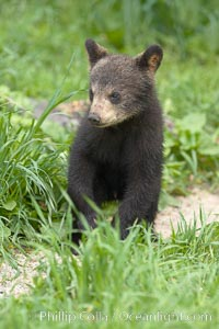 Black bear cub.  Black bear cubs are typically born in January or February, weighing less than one pound at birth.  Cubs are weaned between July and September and remain with their mother until the next winter. Orr, Minnesota, USA, Ursus americanus, natural history stock photograph, photo id 18871