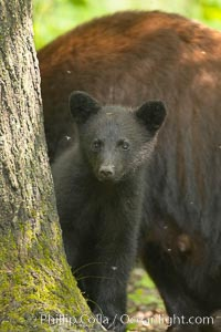 Black bear cub.  Black bear cubs are typically born in January or February, weighing less than one pound at birth.  Cubs are weaned between July and September and remain with their mother until the next winter. Orr, Minnesota, USA, Ursus americanus, natural history stock photograph, photo id 18879