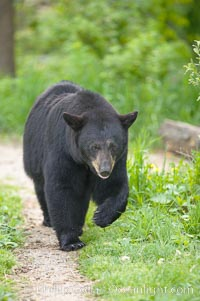 Black bear walking in a grassy meadow.  Black bears can live 25 years or more, and range in color from deepest black to chocolate and cinnamon brown.  Adult males typically weigh up to 600 pounds.  Adult females weight up to 400 pounds and reach sexual maturity at 3 or 4 years of age.  Adults stand about 3' tall at the shoulder. Orr, Minnesota, USA, Ursus americanus, natural history stock photograph, photo id 18883