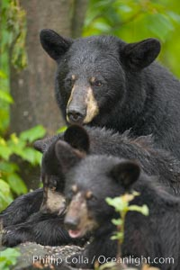 American black bear, mother and cubs, Ursus americanus, Orr, Minnesota