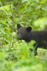 Black bear cub.  Black bear cubs are typically born in January or February, weighing less than one pound at birth.  Cubs are weaned between July and September and remain with their mother until the next winter. Orr, Minnesota, USA, Ursus americanus, natural history stock photograph, photo id 18893