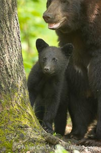 Black bear cub.  Black bear cubs are typically born in January or February, weighing less than one pound at birth.  Cubs are weaned between July and September and remain with their mother until the next winter. Orr, Minnesota, USA, Ursus americanus, natural history stock photograph, photo id 18940