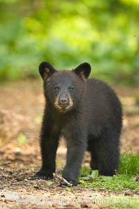 Black bear cub.  Black bear cubs are typically born in January or February, weighing less than one pound at birth.  Cubs are weaned between July and September and remain with their mother until the next winter. Orr, Minnesota, USA, Ursus americanus, natural history stock photograph, photo id 18941