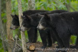 American black bear cubs, Ursus americanus, Orr, Minnesota
