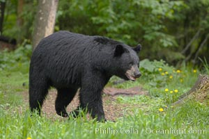 Black bear in profile.  This bear still has its thick, full winter coat, which will be shed soon with the approach of summer, Ursus americanus, Orr, Minnesota