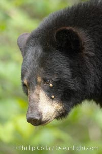 Black bear portrait.  Two ticks are visible below the bear's eye, engorged with blood.  American black bears range in color from deepest black to chocolate and cinnamon brown.  They prefer forested and meadow environments. This bear still has its thick, full winter coat, which will be shed soon with the approach of summer, Ursus americanus, Orr, Minnesota