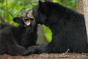 American black bear, mother and cub. Orr, Minnesota, USA, Ursus americanus, natural history stock photograph, photo id 18838