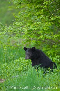 Black bear portrait sitting in long grass.  This bear still has its thick, full winter coat, which will be shed soon with the approach of summer.  Black bears are omnivores and will find several foods to their liking in meadows, including grasses, herbs, fruits, and insects. Orr, Minnesota, USA, Ursus americanus, natural history stock photograph, photo id 18843