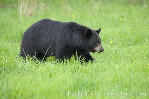 Black bear walking in a grassy meadow.  Black bears can live 25 years or more, and range in color from deepest black to chocolate and cinnamon brown.  Adult males typically weigh up to 600 pounds.  Adult females weight up to 400 pounds and reach sexual maturity at 3 or 4 years of age.  Adults stand about 3' tall at the shoulder. Orr, Minnesota, USA, Ursus americanus, natural history stock photograph, photo id 18848