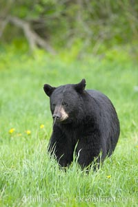 Image 18849, Black bear walking in a grassy meadow.  Black bears can live 25 years or more, and range in color from deepest black to chocolate and cinnamon brown.  Adult males typically weigh up to 600 pounds.  Adult females weight up to 400 pounds and reach sexual maturity at 3 or 4 years of age.  Adults stand about 3' tall at the shoulder. Orr, Minnesota, USA, Ursus americanus, Phillip Colla, all rights reserved worldwide. Keywords: american black bear, americanus, animal, animalia, bear, black bear, caniformia, carnivora, carnvore, chordata, mammal, minnesota, orr, ursidae, ursus, ursus americanus, usa, vertebrata, vertebrate.