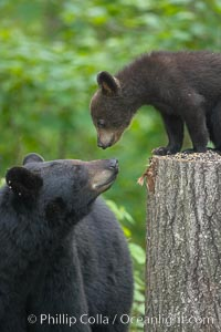 American black bear, Ursus americanus, Orr, Minnesota