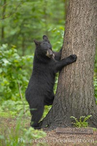Black bear walking in a forest.  Black bears can live 25 years or more, and range in color from deepest black to chocolate and cinnamon brown.  Adult males typically weigh up to 600 pounds.  Adult females weight up to 400 pounds and reach sexual maturity at 3 or 4 years of age.  Adults stand about 3' tall at the shoulder, Ursus americanus, Orr, Minnesota