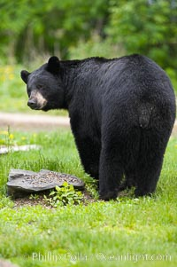 American black bear in grassy meadow, Ursus americanus, Orr, Minnesota