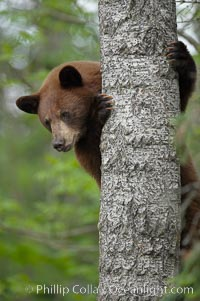Black bear in a tree.  Black bears are expert tree climbers and will ascend trees if they sense danger or the approach of larger bears, to seek a place to rest, or to get a view of their surroundings. Orr, Minnesota, USA, Ursus americanus, natural history stock photograph, photo id 18867