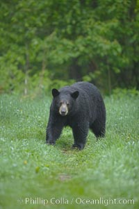 Image 18869, Black bear walking in a grassy meadow.  Black bears can live 25 years or more, and range in color from deepest black to chocolate and cinnamon brown.  Adult males typically weigh up to 600 pounds.  Adult females weight up to 400 pounds and reach sexual maturity at 3 or 4 years of age.  Adults stand about 3' tall at the shoulder. Orr, Minnesota, USA, Ursus americanus
