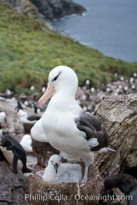 Black-browed albatross, adult on nest with chick, Thalassarche melanophrys, Westpoint Island