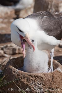 Black-browed albatross, feeding its chick on the nest by regurgitating food it was swallowed while foraging at sea, Steeple Jason Island breeding colony.  The single egg is laid in September or October.  Incubation takes 68 to 71 days, after which the chick is tended alternately by both adults until it fledges about 120 days later. Steeple Jason Island, Falkland Islands, United Kingdom, Thalassarche melanophrys, natural history stock photograph, photo id 24254