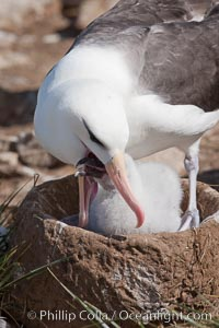 Black-browed albatross, feeding its chick on the nest by regurgitating food it was swallowed while foraging at sea, Steeple Jason Island breeding colony.  The single egg is laid in September or October.  Incubation takes 68 to 71 days, after which the chick is tended alternately by both adults until it fledges about 120 days later, Thalassarche melanophrys