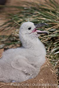 Black-browed albatross chick on its nest, Steeple Jason Island breeding colony.  The single egg is laid in September or October.  Incubation takes 68 to 71 days, after which the chick is tended alternately by both adults until it fledges about 120 days later, Thalassarche melanophrys