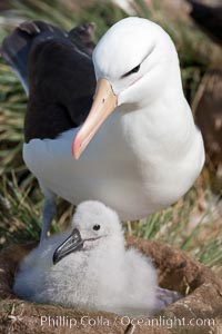 Black-browed albatross, adult and chick, at the enormous colony on Steeple Jason Island in the Falklands.  This is the largest breeding colony of black-browed albatrosses in the world, numbering in the hundreds of thousands of breeding pairs.  The albatrosses lay eggs in September and October, and tend a single chick that will fledge in about 120 days, Thalassarche melanophrys