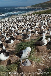 Black-browed albatross colony on Steeple Jason Island in the Falklands.  This is the largest breeding colony of black-browed albatrosses in the world, numbering in the hundreds of thousands of breeding pairs.  The albatrosses lay eggs in September and October, and tend a single chick that will fledge in about 120 days. Falkland Islands, United Kingdom, Thalassarche melanophrys, natural history stock photograph, photo id 24122