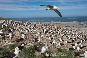 Black-browed albatross in flight, over the enormous colony at Steeple Jason Island in the Falklands. Steeple Jason Island, Falkland Islands, United Kingdom, Thalassarche melanophrys, natural history stock photograph, photo id 24222