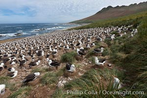 Black-browed albatross colony on Steeple Jason Island in the Falklands.  This is the largest breeding colony of black-browed albatrosses in the world, numbering in the hundreds of thousands of breeding pairs.  The albatrosses lay eggs in September and October, and tend a single chick that will fledge in about 120 days, Thalassarche melanophrys