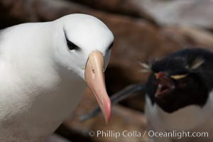 Black-browed albatross, gets an earful from a rockhopper penguin. New Island, Falkland Islands, United Kingdom, natural history stock photograph, photo id 23825