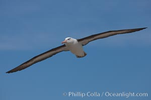Black-browed albatross in flight, against a blue sky.  Black-browed albatrosses have a wingspan reaching up to 8', weigh up to 10 lbs and can live 70 years.  They roam the open ocean for food and return to remote islands for mating and rearing their chicks, Thalassarche melanophrys, Steeple Jason Island