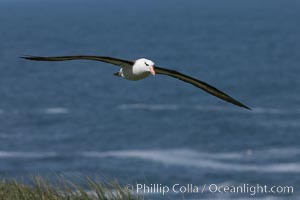 Black-browed albatross soaring in the air, near the breeding colony at Steeple Jason Island. Steeple Jason Island, Falkland Islands, United Kingdom, Thalassarche melanophrys, natural history stock photograph, photo id 24241