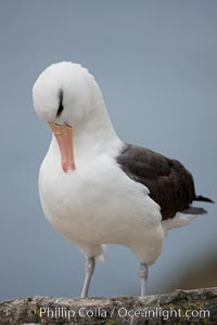 Black-browed albatross. Westpoint Island, Falkland Islands, United Kingdom, Thalassarche melanophrys, natural history stock photograph, photo id 23942