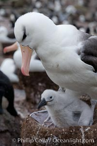 Black-browed albatross, adult on nest with chick. Westpoint Island, Falkland Islands, United Kingdom, Thalassarche melanophrys, natural history stock photograph, photo id 23944