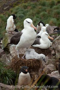 Black-browed albatross. Westpoint Island, Falkland Islands, United Kingdom, Thalassarche melanophrys, natural history stock photograph, photo id 23952