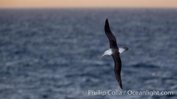 "Black-browed albatross flying over the ocean, as it travels and forages for food at sea.  The black-browed albatross is a medium-sized seabird at 31-37"" long with a 79-94"" wingspan and an average weight of 6.4-10 lb. They have a natural lifespan exceeding 70 years. They breed on remote oceanic islands and are circumpolar, ranging throughout the Southern Oceanic. Falkland Islands, United Kingdom, Thalassarche melanophrys, natural history stock photograph, photo id 24021"