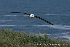 Black-browed albatross soaring in the air, near the breeding colony at Steeple Jason Island. Steeple Jason Island, Falkland Islands, United Kingdom, Thalassarche melanophrys, natural history stock photograph, photo id 24154