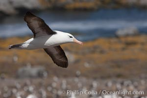 Black-browed albatross in flight, over the enormous colony at Steeple Jason Island in the Falklands. Steeple Jason Island, Falkland Islands, United Kingdom, Thalassarche melanophrys, natural history stock photograph, photo id 24155